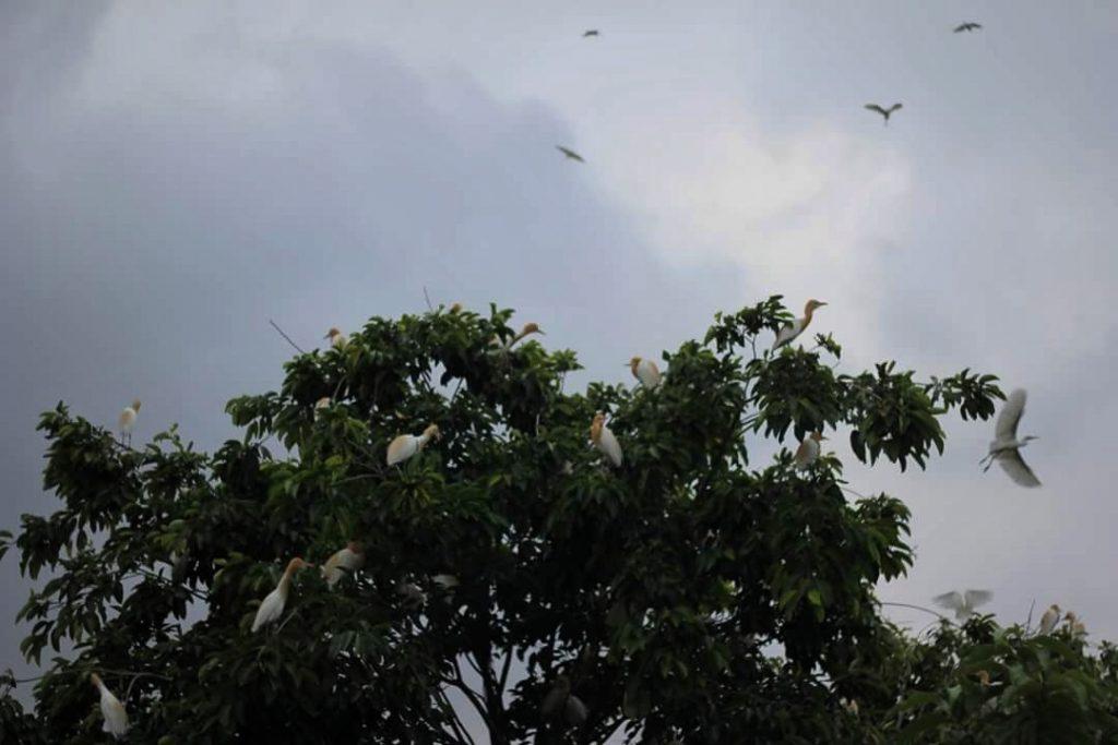 white bangau
